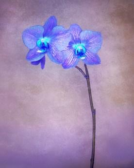 Orchid Variation No. 3 © jj raia