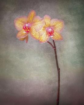 Orchid Variation No. 5 © jj raia