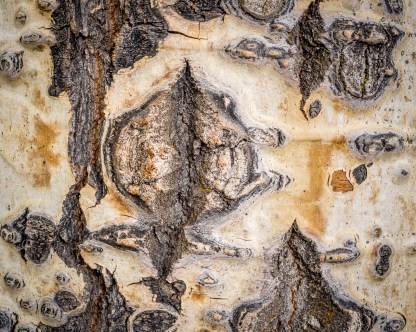 Aspen Trunk Detail — Grand Teton © jj raia