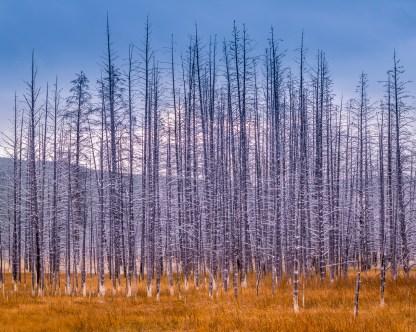 Bobby Sox Forest— Yellowstone © jj raia