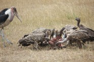 vultures eating a wildebeest
