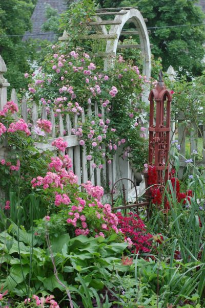 Excellenz von Schubert and Caldwell Beauty bloom on white picket fence, with old iron gate post adding interest.