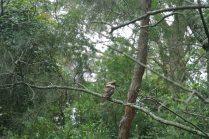Spot the Kookaburra