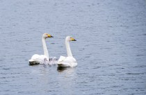 And this family of swans
