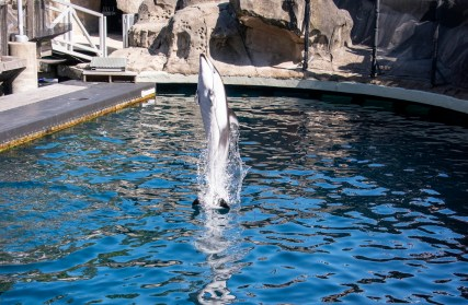 Helen the white-sided dolphin