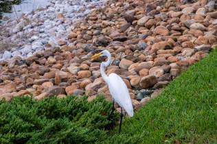 And another egret