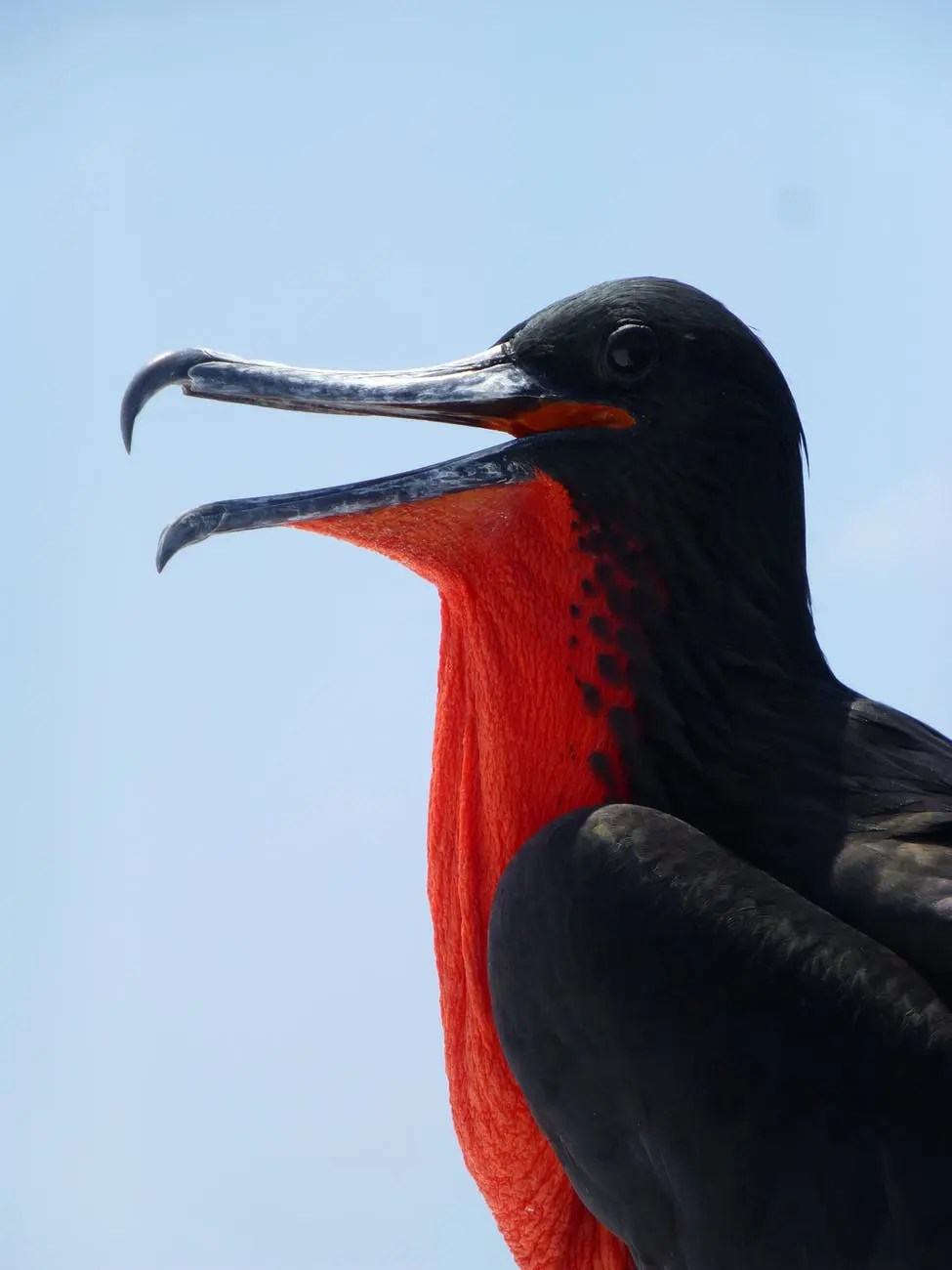 frigate bird frigate galapagos seabird