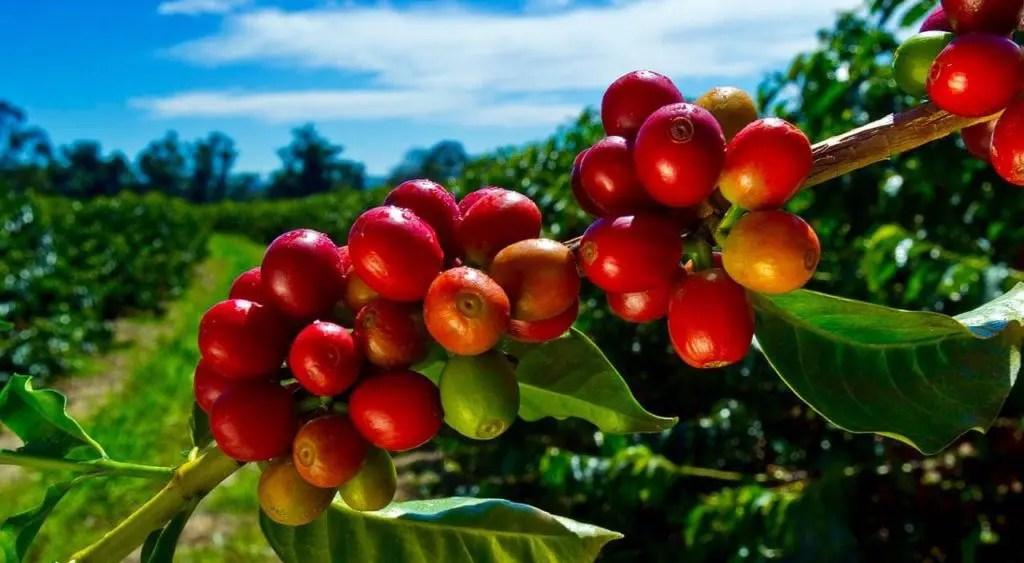 Kona Coffee Farm in Hawaii