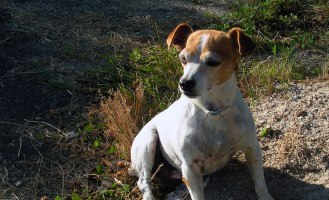 Garlic the Jack Russell in France