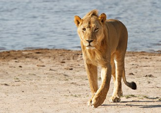 One of Cecil's Older Sons / Photo Credit: Ed Hetherington