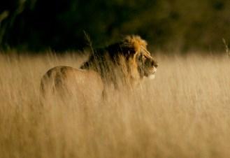 Cecil on patrol / Photo Credit: Brent Stapelkamp