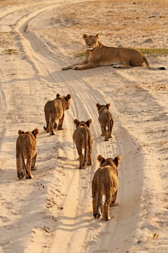 Cecil's Mate and Cubs / Photo Credit: Ed Hetherington