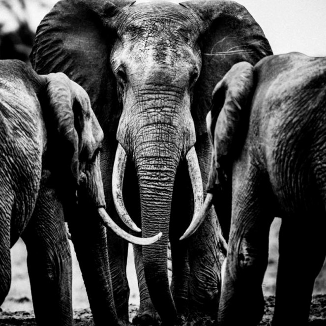 Elephant Family / Photo Credit: Laurent Baheux