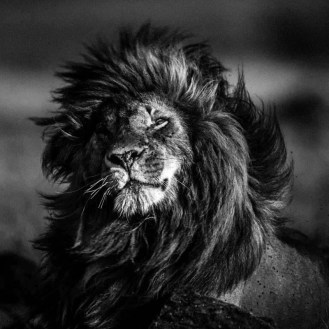 Scarface lion in the wind / Photo Credit: Laurent Baheux