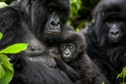 The Gorillas of Virunga - Photo: Brent Stirton