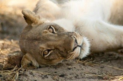 """""""I just spent 2 hours with Cecil's pride and all are well"""" / Photo: Brent Stapelkamp"""