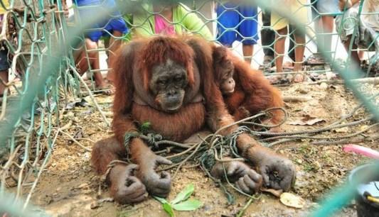 Unspeakable cruelty towards orangutans in Borneo