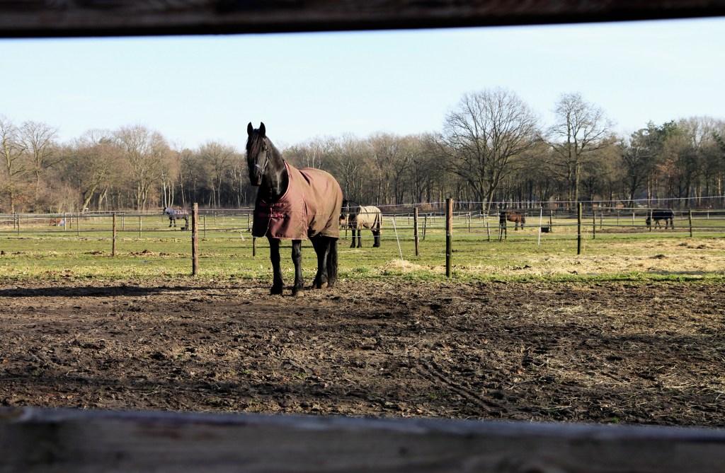 Een van de vele paarden