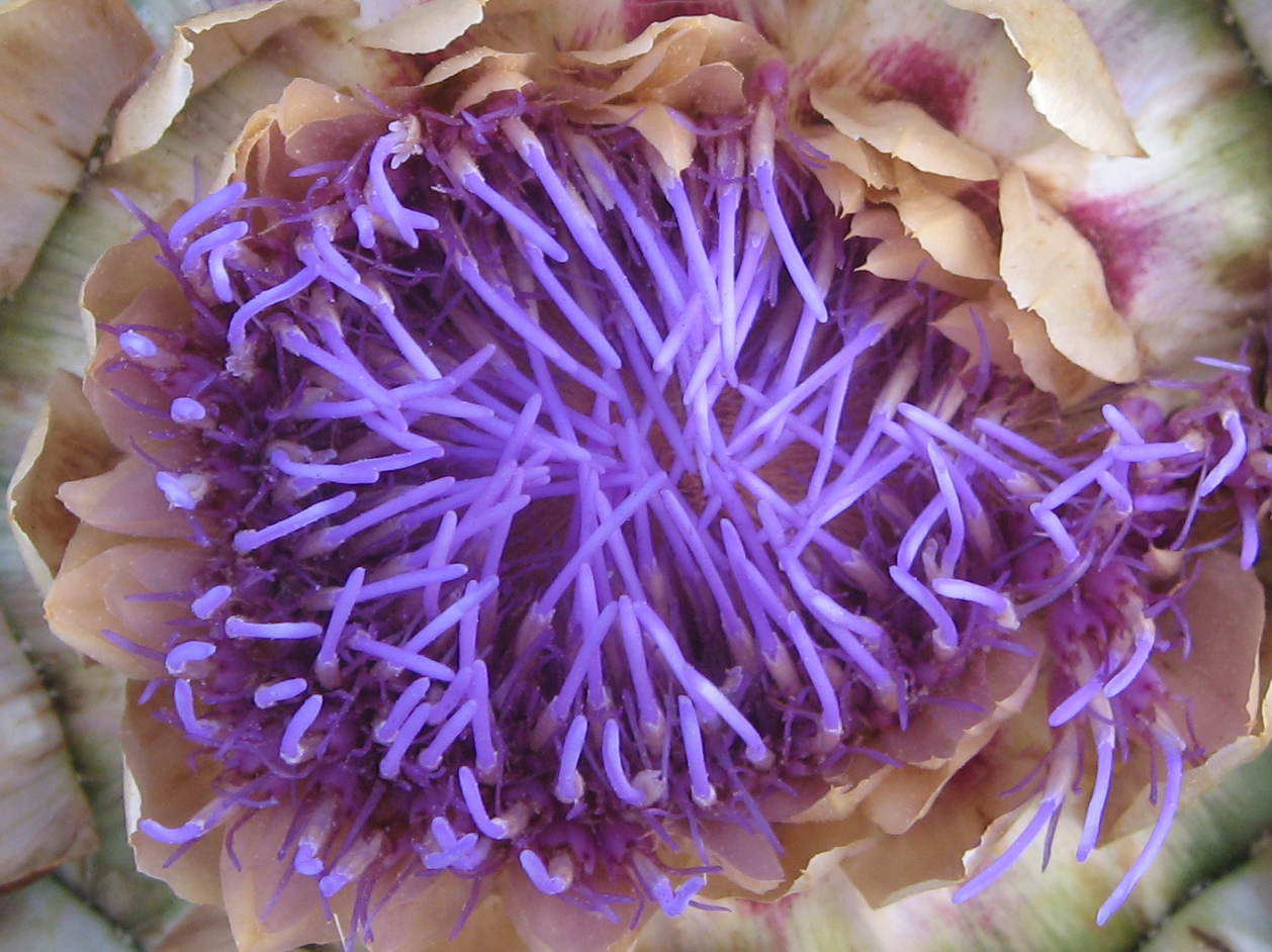 Part of an artichoke flower from our garden, shot on macro with my Canon IXY 800IS. The neon effect is quite surprising in that it was photographed in dull light in the evening. Artichokes are a member of the thistle family and a couple of days later this immature flower was loooking like a gigantic Scotch thistle.