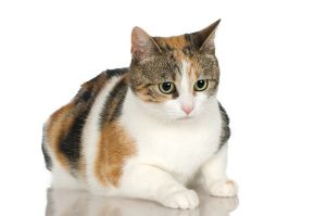 KUCING WARNA BULU 'calico'
