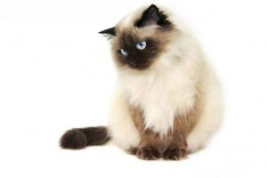 WARNA BULU KUCING : COLORPOINT