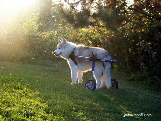 Jeannie's Siberian Husky Tristan in a Mobility Cart