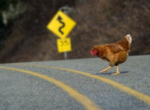 Chicken-crossing-the-road2-1050x700