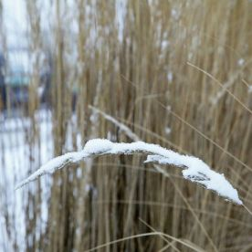 grassy snow; another cold morning in Calgary