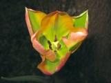 peachgreentulipweb
