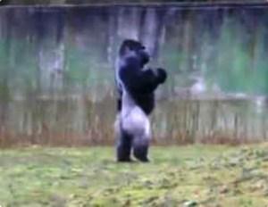Se llama Ambam y camina de pie como un humano en el zoológico británico Port Lympne. (Foto: captura de Youtube)