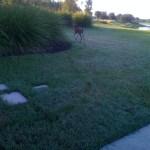 deer retreating