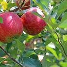 Plantation, taille d'arbres fruitiers | Jo votre jardinier paysagiste à Chevillon, Charny Orée de Puisaye, Yonne (89) | www.jo-votre-jardinier-paysagiste.fr