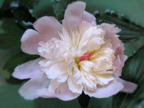 Picture of pink peony