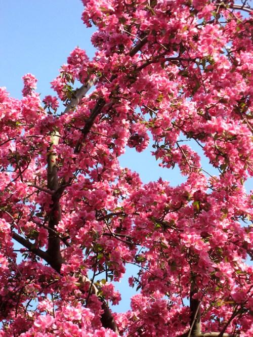 Photo of cherry tree, taken by Joana Miranda