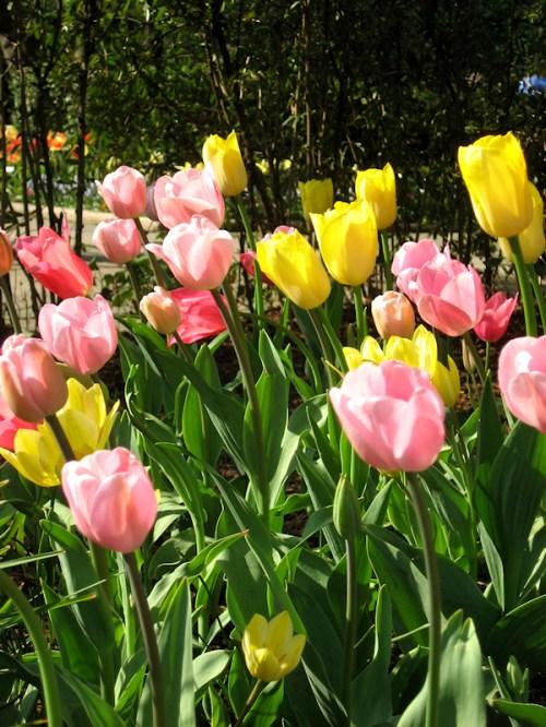 Tulips in Easter pastels, photo taken by Joana Miranda