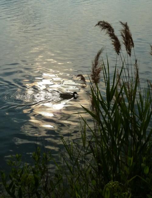 Photo of duck swimming on reservoir, taken by Joana Miranda