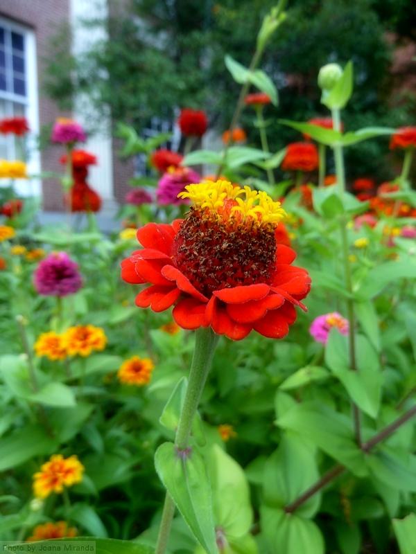 Photo of red and yellow flower against green garden, taken by Joana Miranda