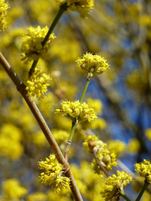 yellow clusters of flowers against a blue sky