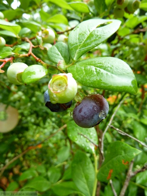 blueberries and rain drops