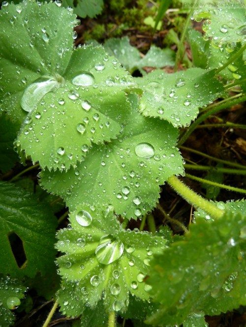 Lady's Mantle after the rain