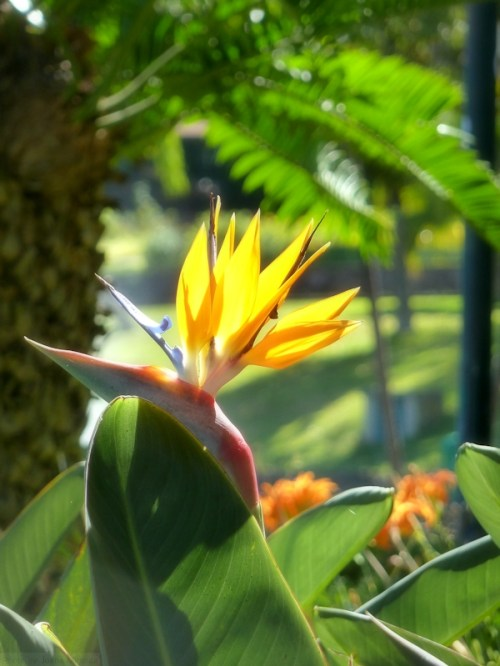 Birds of Paradise in Madeira