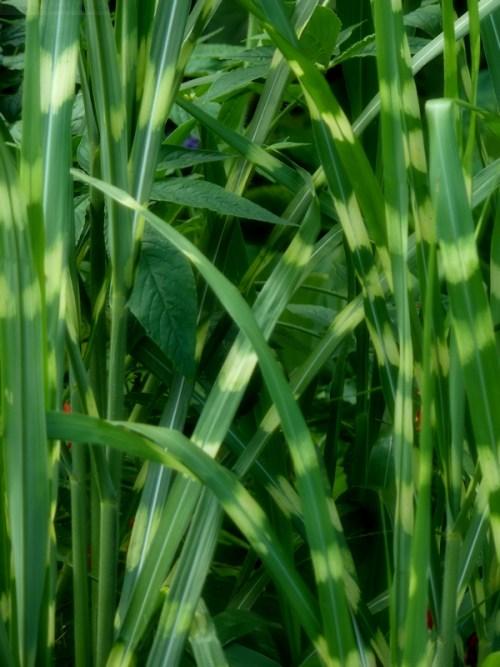 striped grasses