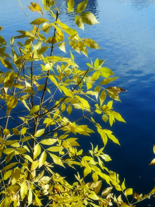 yellow leaves against the blue reservoir water