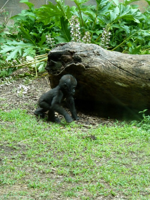Baby gorilla goes sleuthing