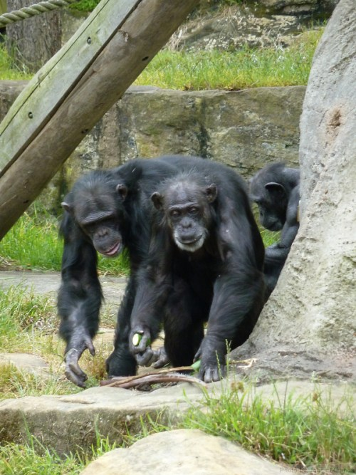 Chimps coming home from work