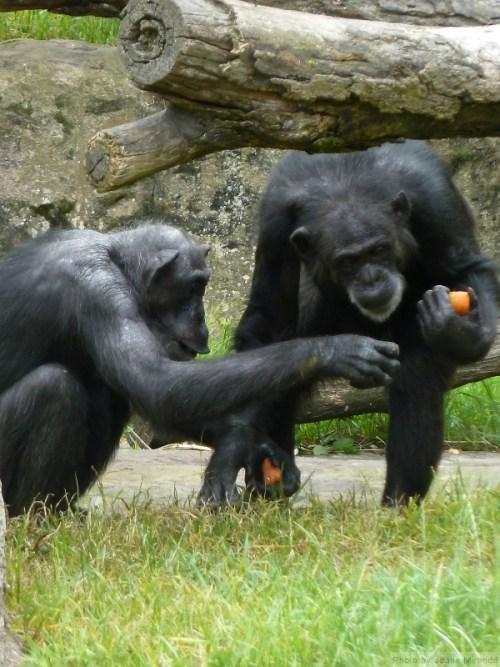 Chimps comparing carrots