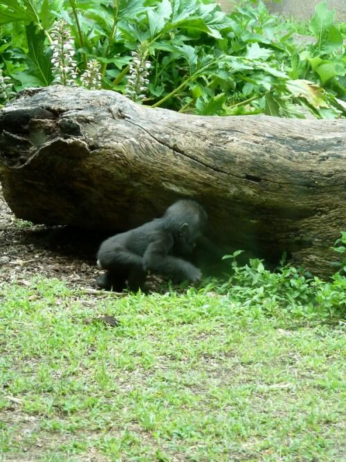 Curious baby gorilla