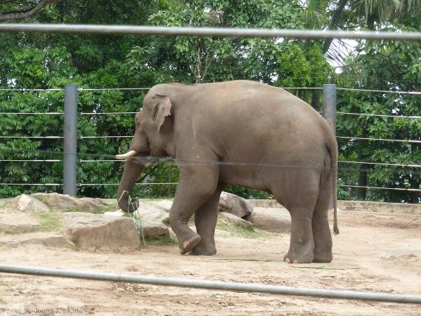 Elephant at the Sydney Zoo