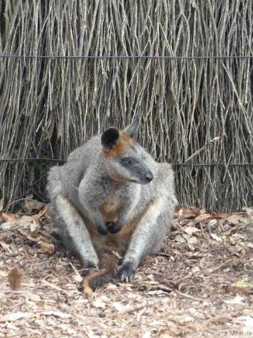 Kangaroo looking to the side
