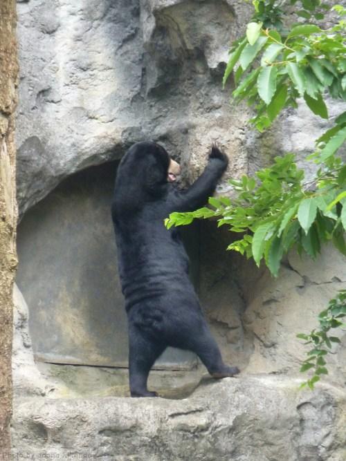 sun bear standing up